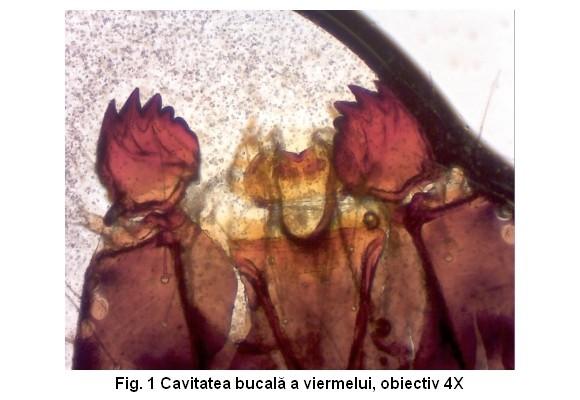 Sub miroscop - Viermele merelor