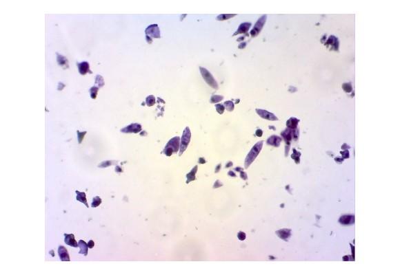 Sub microscop - Euglena verde