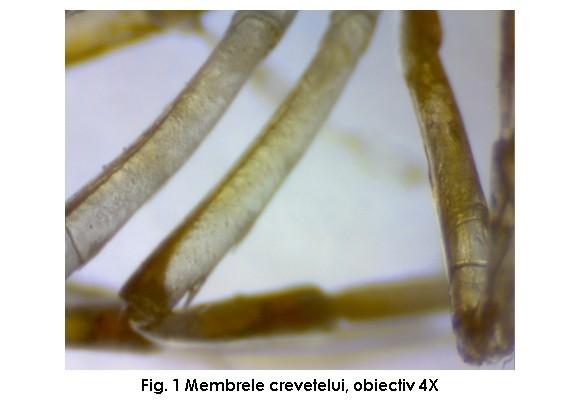Sub microscop - Crevetii de acvariu